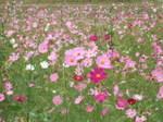 Flower_2007_31