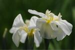 Flower_2009_045