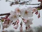 Sakura2007_02