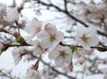 Sakura2007_03