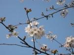 Sakura2007_04