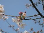 Sakura2007_05