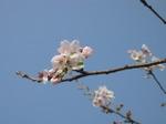 Sakura2007_06